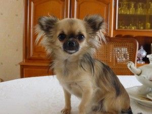 chihuahua-Lovely-Fraperie6